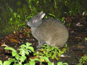 奄美大島ナイトツアー,ウサギ