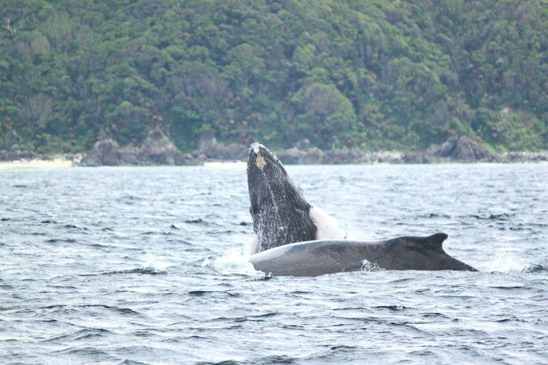 【地域共通クーポン対象】奄美の冬の人気者!ザトウクジラに会いに行く半日ホエールウォッチングツアー(No.17)