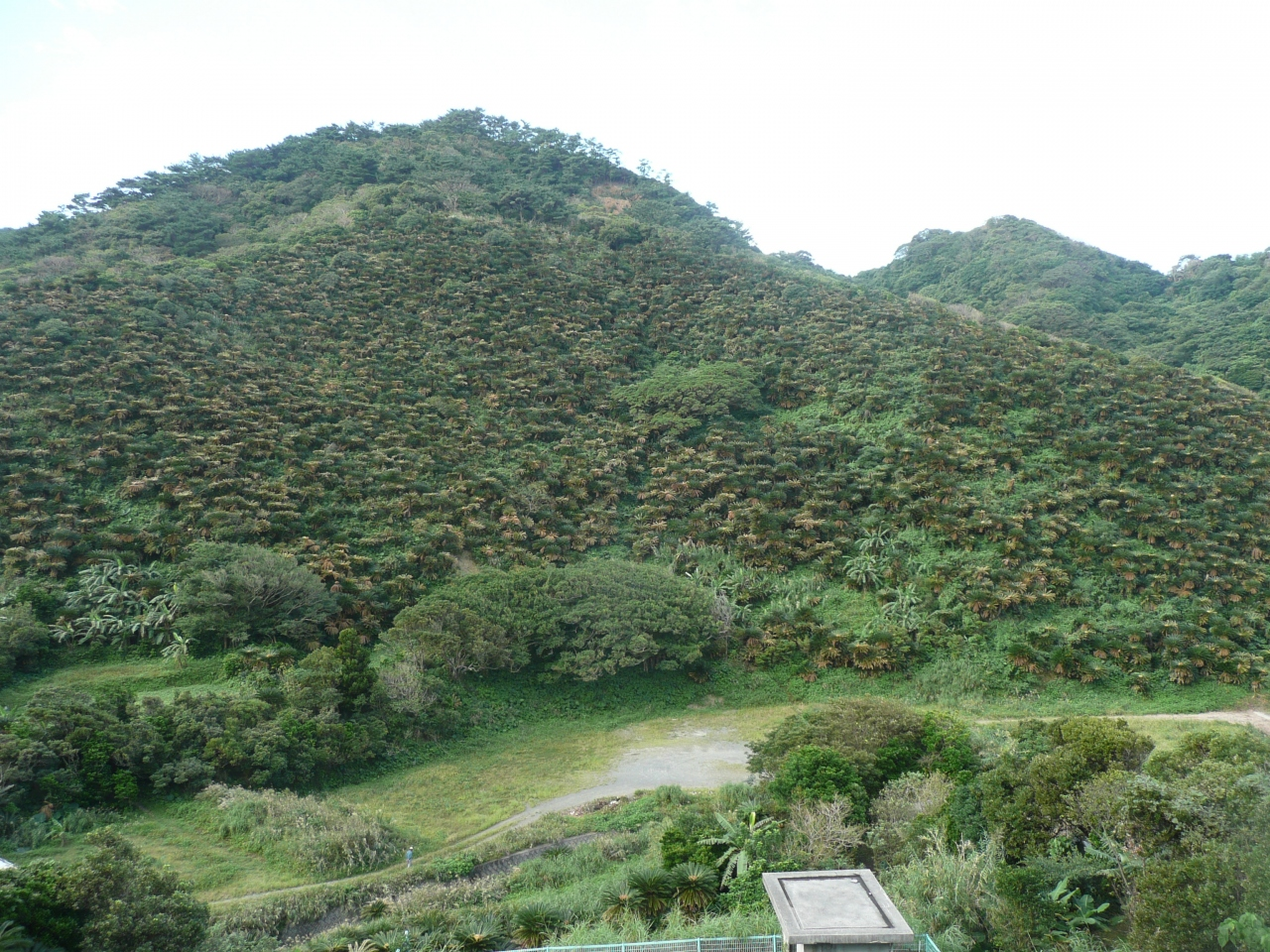 奄美大島のソテツ群生地